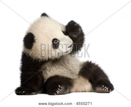 Panda-gigante (6 meses) - Ailuropoda Melanoleuca