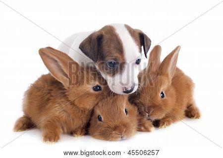 Jack Russel Terrier e coelhinhos