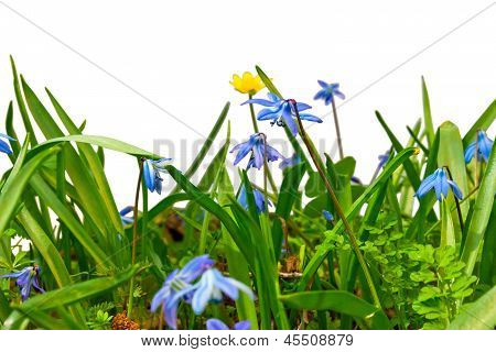 general view of forest wild flowers and grass blue snowdrops iso