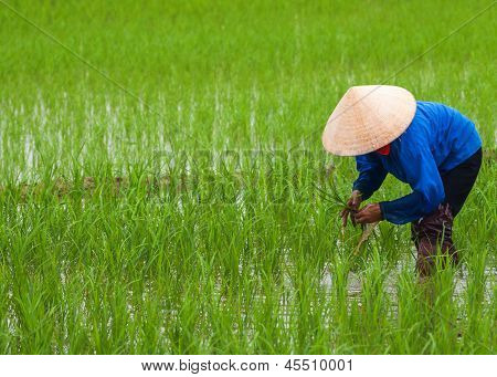 Vietnam Quang Binh Province - March 2012: Planting Rice In Empty Patches Of Paddy.