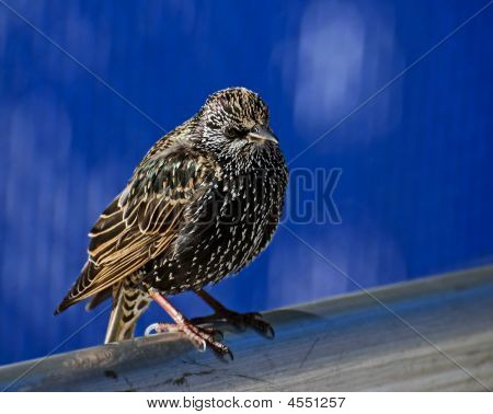 Starling On A Pole