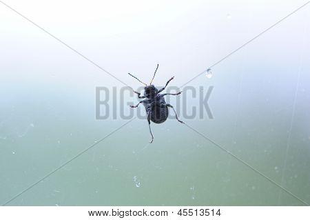 Beetle Crawling On Glass