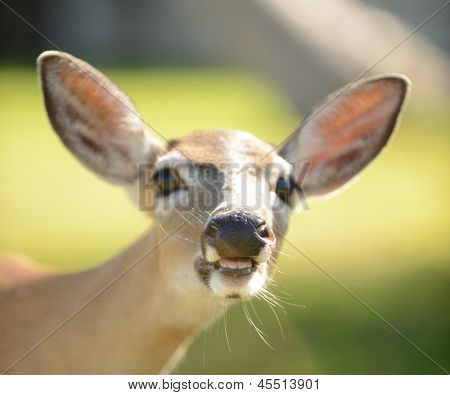 Deer With Open Mouth And Large Teeth