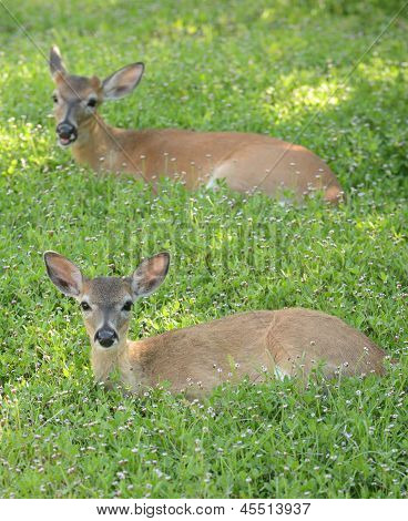Two Deer In A Meadow With Flowers