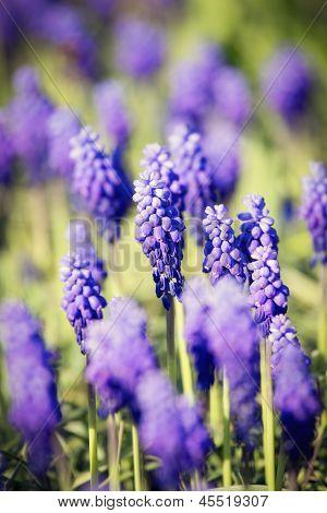 Bluebells flower (Muscari armeniacum)