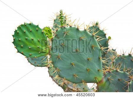 Green Cactus Isolated