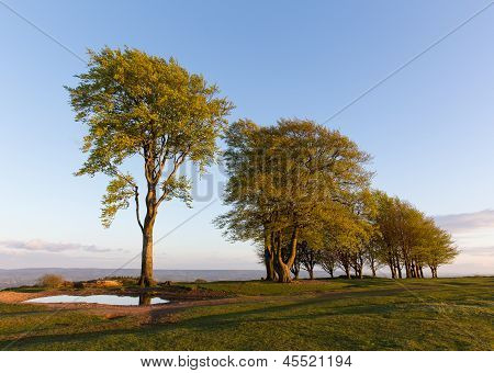 Beech trees and blue sky