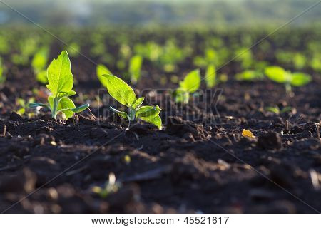 Field Of Crops Become Ripe Under The Sun