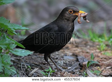 Blackbird Eating Worm