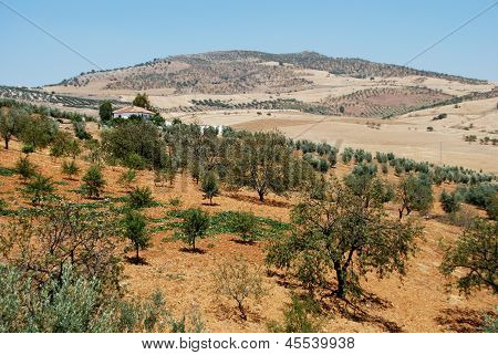 Olive groves, Andalusia, Spain.