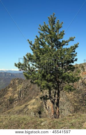 Pine On A Mountain Top