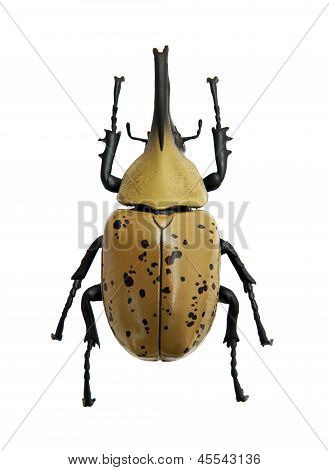 Beetle Dynastes granti