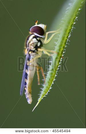 Zonaria Syrphus Ribesii