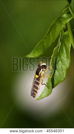 Diptera Syrphidae Volucella Zonaria