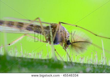 Riparius Culicidae Culex Mosquito