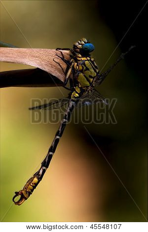 Wild Black Yellow Dragonfly    Imperator