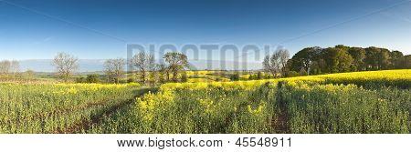 Oilseed Rape, Canola, Biodiesel Crop