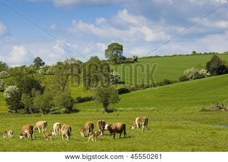 Healthy Cattle Livestock, Idyllic Rural, Uk.