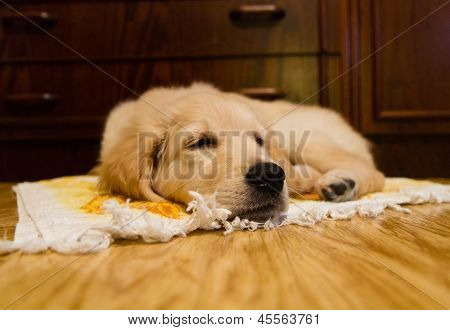 Golden retreiver puppie sleeping