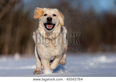 Running Golden Retreiver