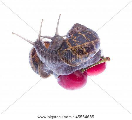 Garden Snails.