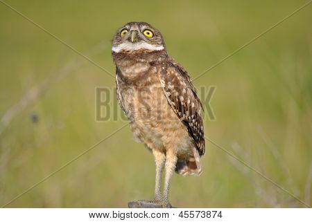 Burrowing Owl Looking at the Sky
