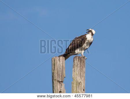 Osprey Giving Warning