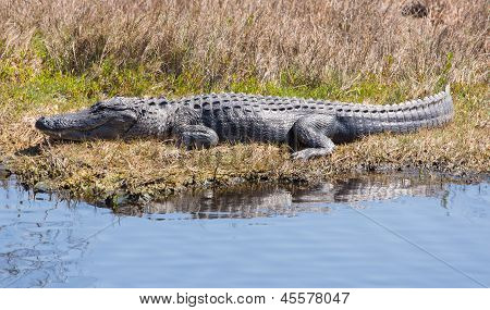Alligator Catching Some Rays