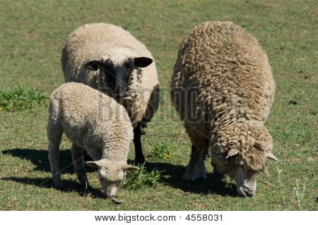 Breeding Sheep
