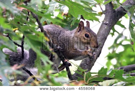 Snacking Squirrel