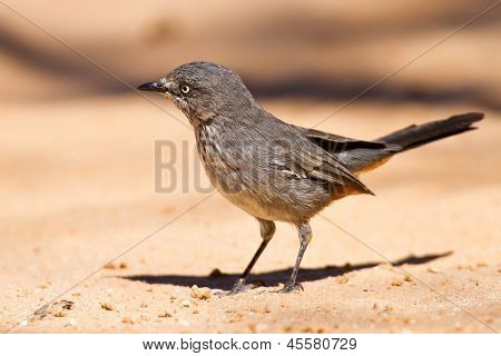 Chestnut-vented Tit-babbler Sitting