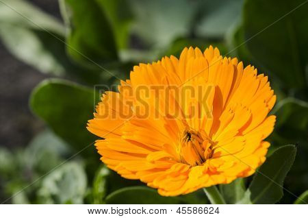 Flor de laranjeira. Calêndula
