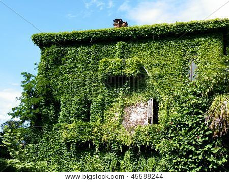 Ivy covered derelict house