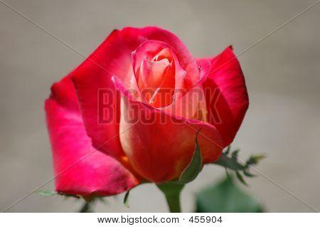 Newly Opened Rose