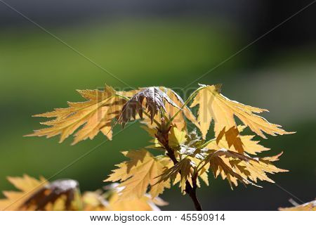 Orange young maple leaves