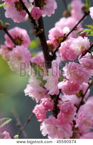 Flowers on blossoming branch of decorative plant Luizeaniya lobed (Louiseania triloba)