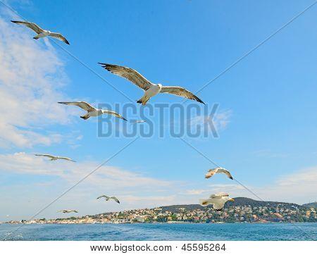The Seagull On The Island Of Buyukada.