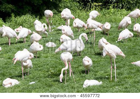 Group Of Flamingo's