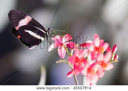 Heliconius Doris Butterfly On A Plant