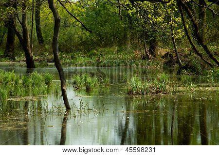 Bog In Forest