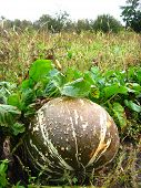 foto of cucurbitaceous  - The image of ripe grey pumpkin in kithen garden - JPG