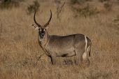 foto of veld  - Waterbuck in the Kruger National Park of South Africa - JPG