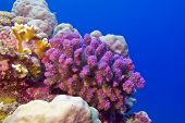 picture of bottom  - coral reef with pink pocillopora coral at the bottom of red sea in egypt - JPG