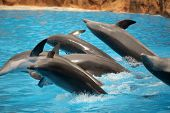 picture of bottlenose dolphin  - Dolphins jumping out of water during show in Loro Parque in Tenerife - JPG