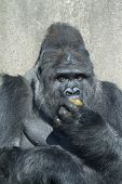 stock photo of excrement  - A big silverback gorilla eating his own excrement - JPG