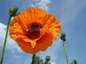 stock photo of poppy flower  - The close - JPG
