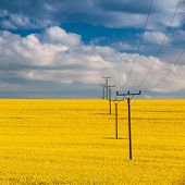 pic of rape-field  - Flowers of oil in rapeseed field with high voltage power lines