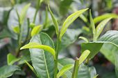 foto of household farm  - top of the young green tea plant - JPG