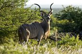 image of antelope horn  - Portrait of a Kudu antelope in late afternoon sun light - JPG