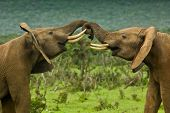 picture of reign  - two large elephants standing and pushing each other around - JPG